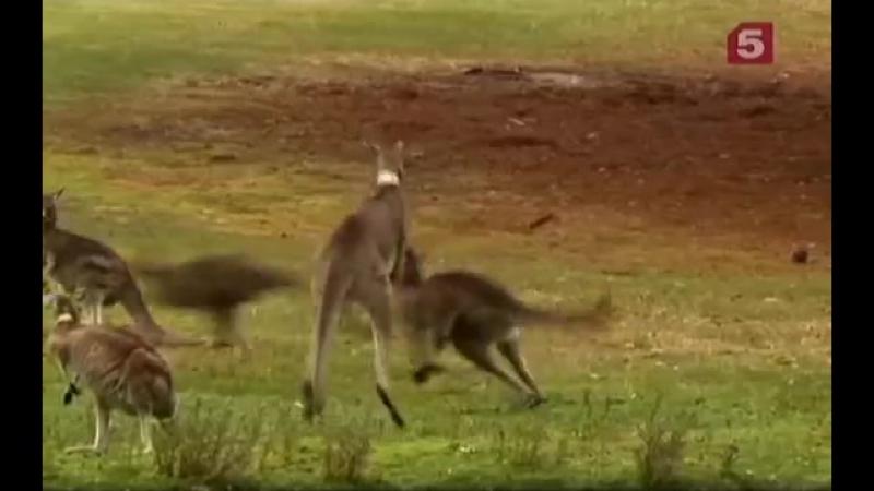 Дикая природа -Вездесущие кенгуру- Австралия --Обрезка 01