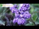 Цветок гелиотроп – выращивание из семян, уход и посадка гелиотропа свойства гелиотропа - YouTube 360p