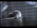 Cocaine Rat - Drug-Free America