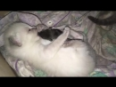 Кошка Сноу Шу приютила мышку крысёнка Cat adopted a mouse a rat poroda koshek scscscrp