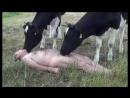 Boquetão da vaca safada