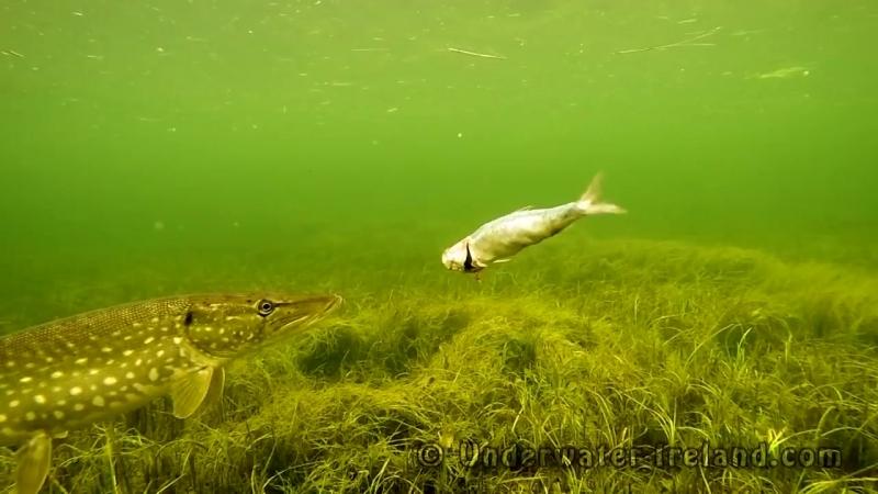 Pike attacks tries to eat zombie fish. 动物与机器人观察派克如何攻击僵尸鱼. Lucio ataca pez zomb