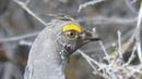 Dusky grouse Дымчатый тетерев Dendragapus obscurus