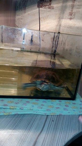 #Животные@bankakomi Черепаха красноухая( самец) с аквариумом,во до на