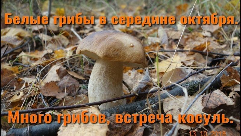 Белые грибы в середине октября Много грибов встреча косуль