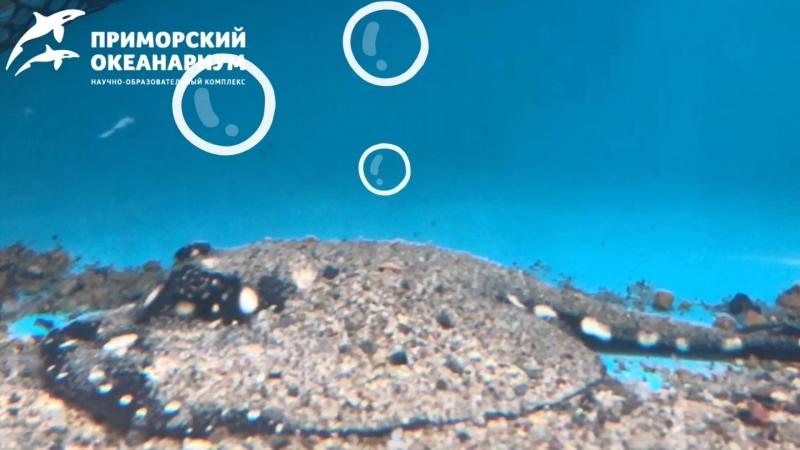 Первый пресноводный скат родился в Приморском океанариуме