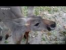 Кормим кенгуру Зоопарк Тайланд Khao Kheow