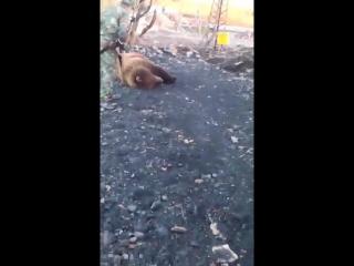 В Кузбассе застрелили троих медведей, живших на автозаправке