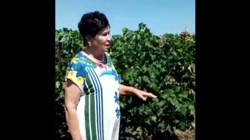 Россельхозцентр исследует виноград в Темрюкском районе на болезни и вредителей