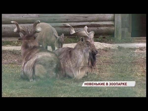 В Ярославский зоопарк прилетели винторогий козел и маленький кенгуренок