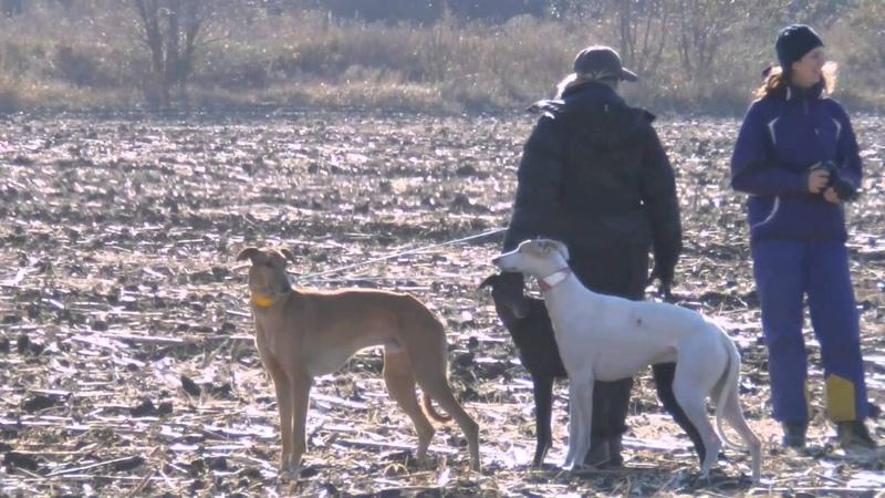 Днепропетровск обл испытание борзых собак по зайцу 2015 г
