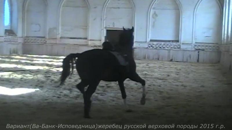 Вариант(Ва-Банк-Исповедница)жеребец русской верховой породы 2015 г.р.