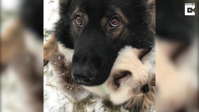 Пёс защитил своего друга кота от снега
