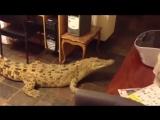 Кормление крупного крокодила на кухне