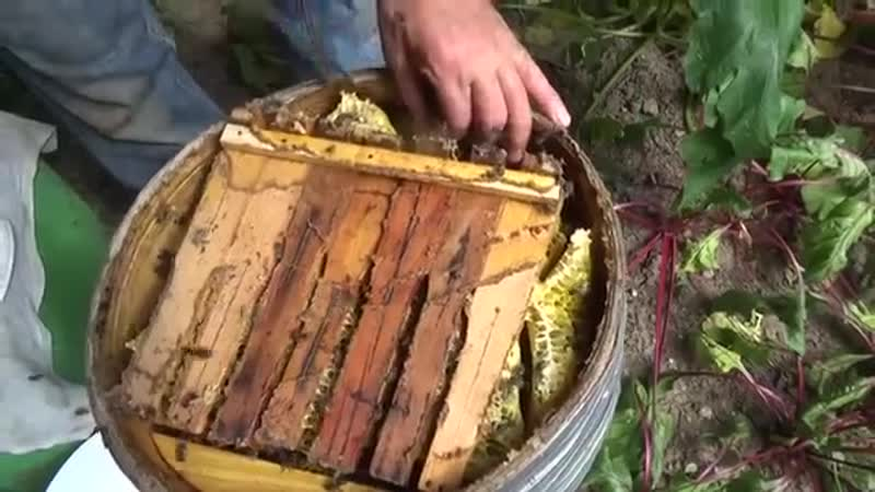 ЛОВУШКА БОЧКА СРАБОТАЛА - ПОЛУЧАЕМ ПЕРВЫЙ МЁД (часть вторая). мед.