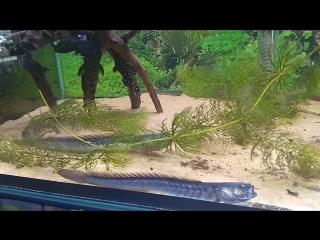 Рыба-дракон (Фиолетовый бычок, Gobioides broussonnetii)