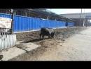 вьетнамская свинья в приюте Ржевка