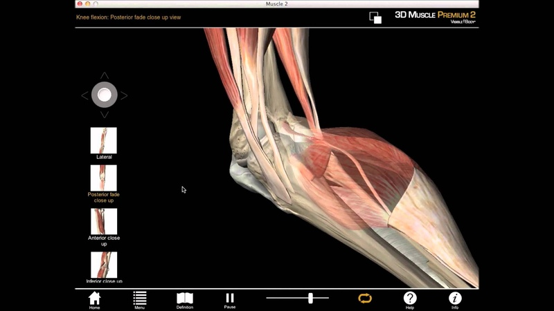 Medial knee rotation and knee flexion muscle action with Muscle Premium