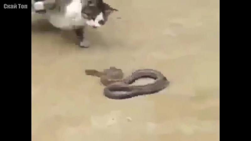 КОШКИ В ДЕЛЕ! Кошка против собаки, змеи, крокодила