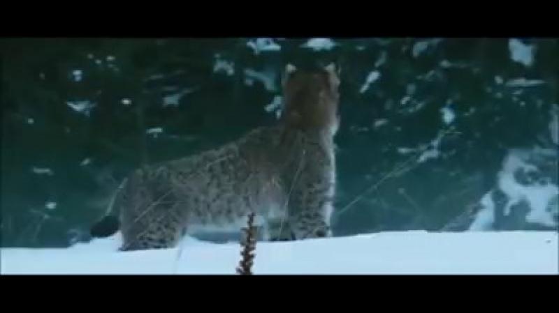 Суровый животный мир. То ли борьба за территорию, то ли настолько голодна рысь, что непротив полакомиться и лисицей?!