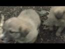 гнездо дикой собаки со щеняками