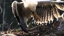 Южноамериканская гарпия лесной орёл