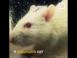 Эксперимент с шестью крысами (6 sec)