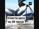 28 часов спасали выброшенного на берег кита