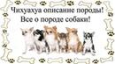 Чихуахуа описание породы Все о породе собаки