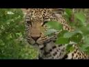 «Хищники Африки: Коллективная охота» (Познавательный, природа, животные, 2011)