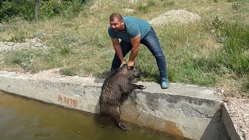 Selçuk Poslu Sulama kanalına düşen domuzları kurtarıyor.Rescuing wild boars from irrigation channel.