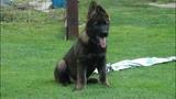 Altair Aquila vom Schloss Liebenstein - 8 weeks old German Shepherd Puppy