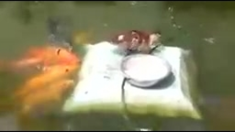 утёнок кормит рыб