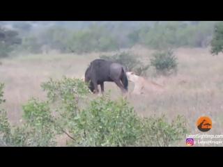 Антилопа гну вышла победителем в схватке с львицами