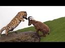惊喜的战斗 山山羊试图逃离雪豹狩猎 但失败