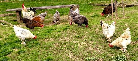 Суд наказал жительницу Усть-Илимского района за кражу 10 куриц