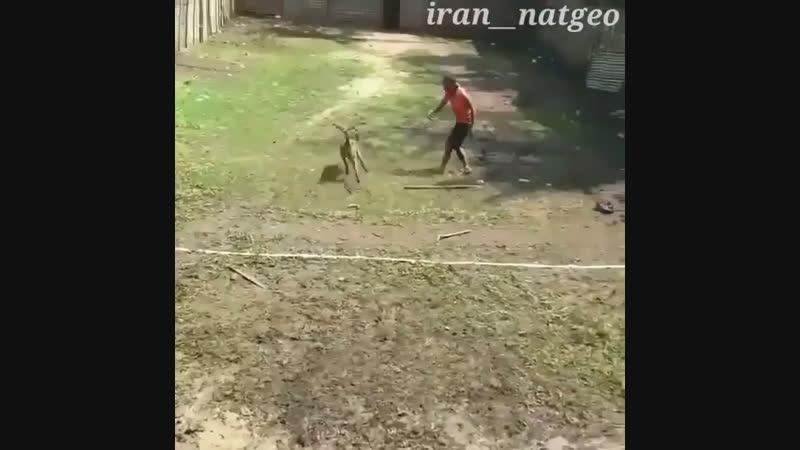 Авчарка против бойцового кабана