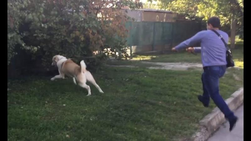 Бурная реакция на собак:один из способов как отучить реагировать на собак(Алабай Ермак)