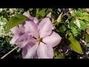 Выращивание клематисов в саду 2