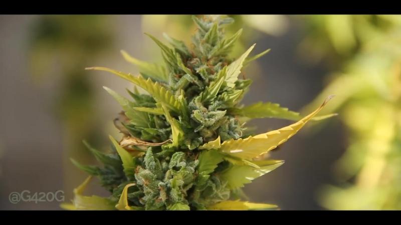 1 Year Old Marijuana Plant (Гонцы 420)