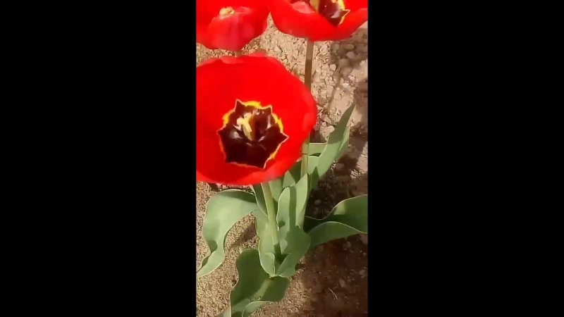 Улыбнись😄😄😄✋ ≈≈≈ Улыбка-лучшее украшение человека💛💛💛 отулыбкистанетвсемтеплей🌞🌞🌞 дома вдеревне маминсад цветы тюльпаны солнечно 0:01 Авто 0:10