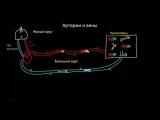 Различия между артериями и венами