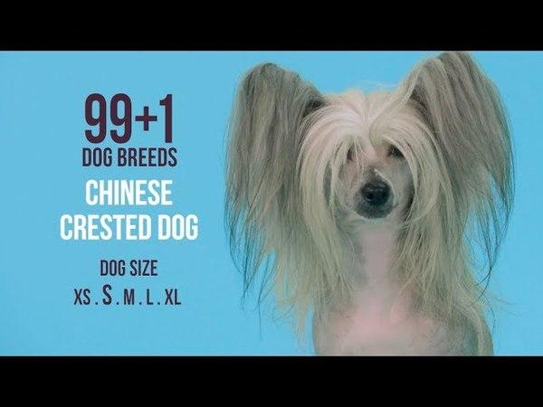 Chinese Crested Dog 991 Dog Breeds