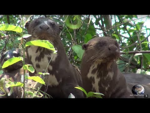 Мир Приключений - Дружная семья Гигантских выдр. Пантанал. Бразилия. Giant otters. Pantanal. Brazil.