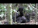 Tai Chimpanzee Project chimpanzees play airplane (with turbulence)