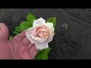 Роза ТИМЕЛИС порадовала первыми цветами