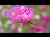 Цветы распускаются и Мамикон - Ты МОЯ