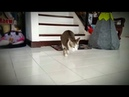 So Many Cute Cat Walks on Two Legs These Kittens Born Without Front Legs