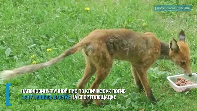 Жители не смогли спасти лиса из сетки на спортплощадке в Красногорске Подмоско
