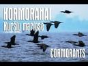 Kormoranai Kuršių mariose :-: Big flock of cormorants hunting fish in the Curonian Lagoon